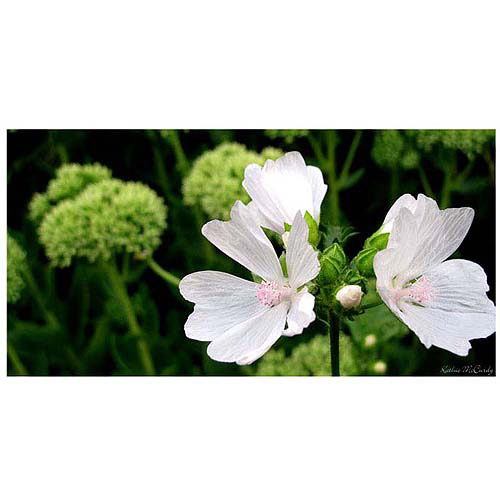 "Trademark Art ""White Mallow"" Canvas Art by Kathie McCurdy"