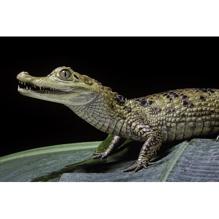 Caiman Crocodilus) (Spectacled Caiman) Print Wall Art By