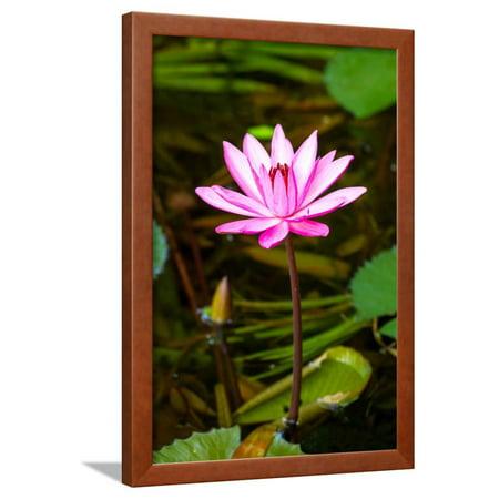 8842c285c342c0 Beautiful Pink Water Lily Close-Up Framed Print Wall Art By mazzzur -  Walmart.com