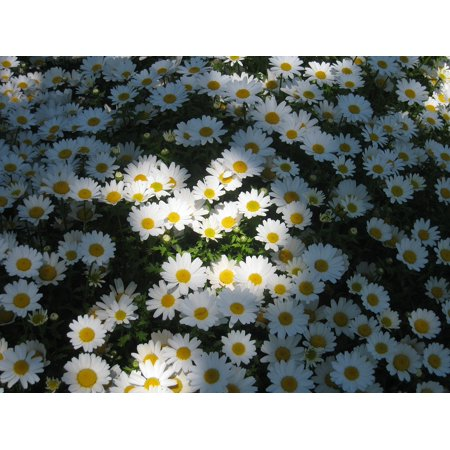 Margaret One Light Pendant (LAMINATED POSTER Light Sun One Side Shadow Daisy Margaret Poster Print 24 x 36 )