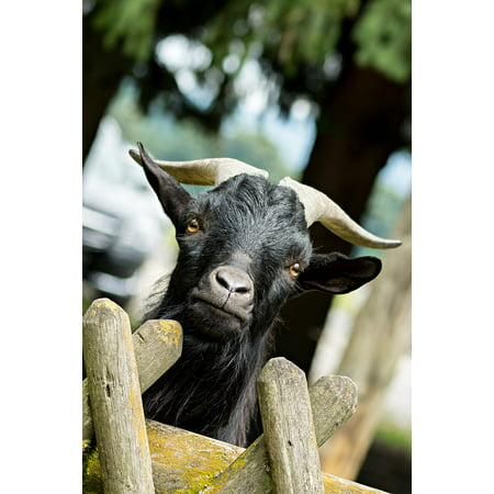Canvas Print Horns Animal Curious Goatee Bock Billy Goat Goat Stretched Canvas 10 x - Shaggy Goatee