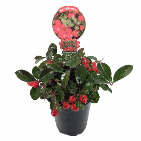 Cherry Berries Wintergreen Plant  - Gaultheria -Teaberry- Aromatic Leaves-4
