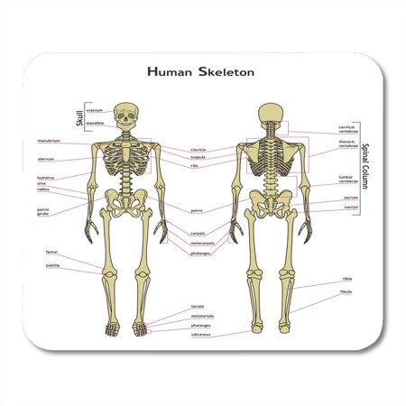 SIDONKU Labels of Human Skeleton Didactic Board Anatomy Bony System Diagram The Main Parts Skeletal Anatomical Mousepad Mouse Pad Mouse Mat 9x10 (Arm Anatomy Diagram)