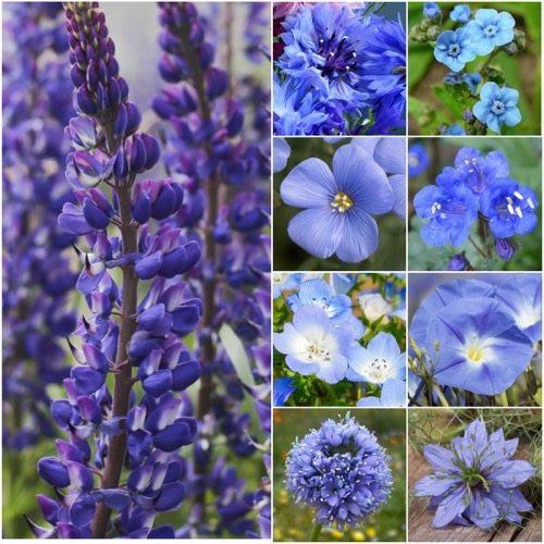 Packet of 30,000 Seeds, Dazzling Blue Wildflower Mixture