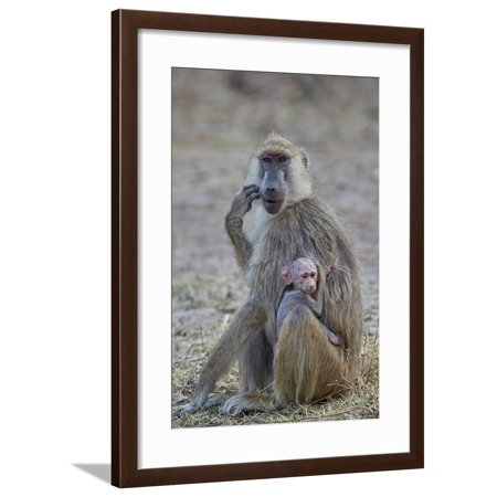 Ruaha National Park (Yellow baboon mother and days-old infant, Ruaha National Park, Tanzania, East Africa, Africa Framed Print Wall Art By James Hager )