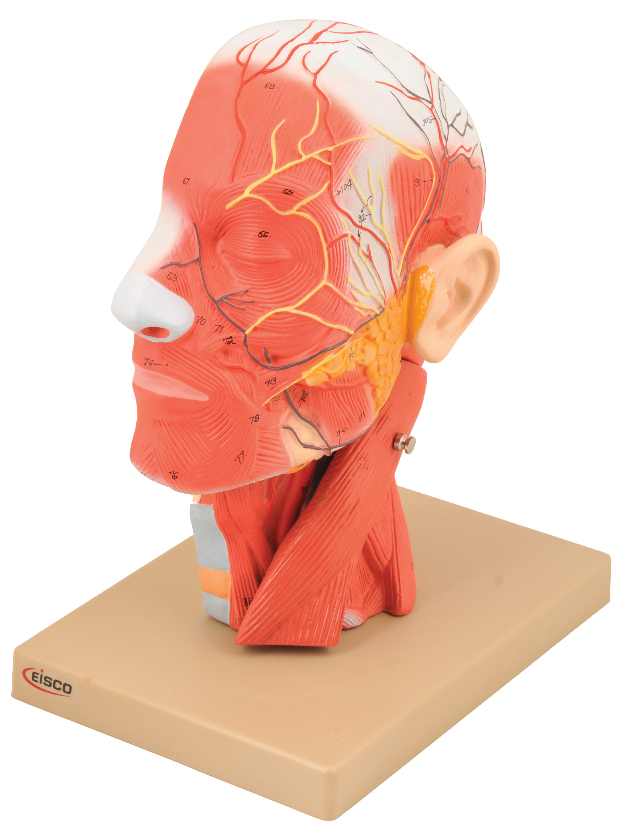 Eisco Labs Model, Human Head, Cross sectional, Neck, Life Size, Cranium by EISCO