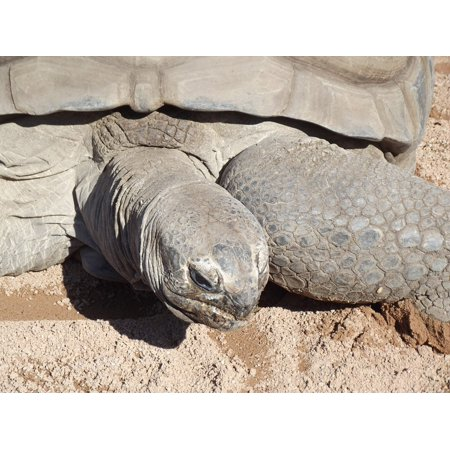 Laminated Poster Turtle Aldabra Tortoise Shell Giant Reptile Poster Print 24 X 36