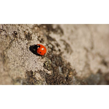 Laminated Poster Stone Grey Insect Black Dots Ladybug Red Poster Print 24 x 36