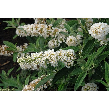 Humdinger Little Angel Butterfly Bush - Buddleia - Compact - Gallon Pot