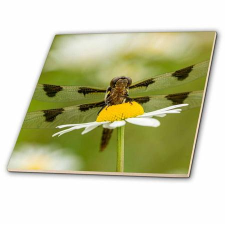 3dRose Female Blue Dasher dragonfly on daisy, Kentucky - Ceramic Tile, 8-inch