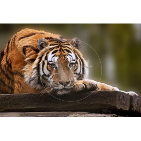 Beautiful Heartwarming Image of Tiger Laying with Head on Paws Print Wall Art By Veneratio
