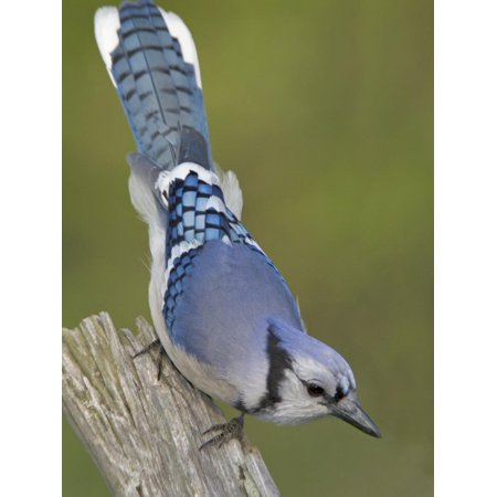 Close-up of Blue Jay on Dead Tree Limb, Rondeau Provincial Park, Ontario, Canada Print Wall Art By Arthur