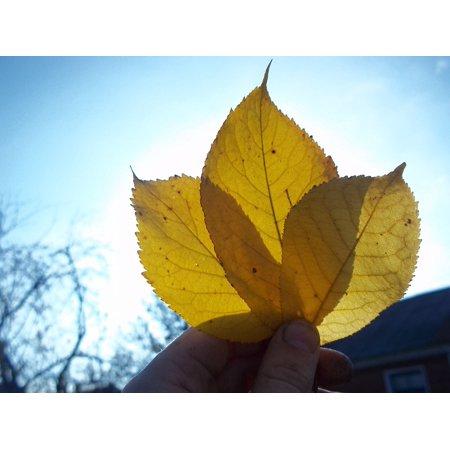 Autumn Oasis (LAMINATED POSTER Sheet Autumn Oak Leaf Nature Yellowed Sheet Poster Print 24 x 36)