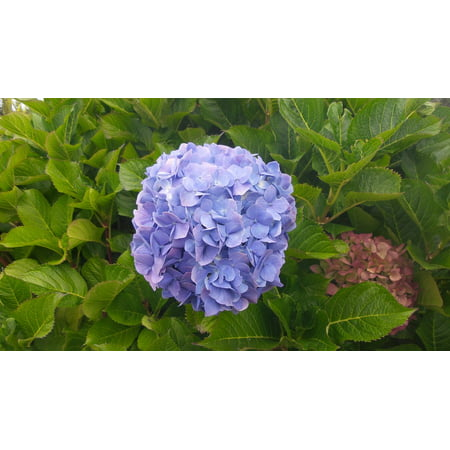 Hydrangea Framed Art (Framed Art for Your Wall Flower Nature Blue Hydrangea Beautiful Floral 10x13 Frame)