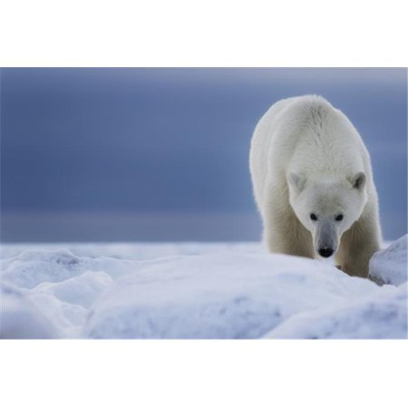 Posterazzi DPI12296503LARGE Polar Bear Ursus Maritimus - Churchill Manitoba Canada Poster Print by Robert Postma, 38 x 24 - Large - image 1 de 1