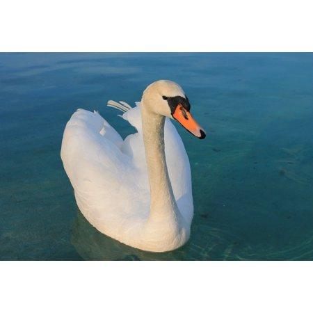 Bird Large Poster - LAMINATED POSTER Lake Swan White Beautiful Water Bird Graceful Poster Print 24 x 36