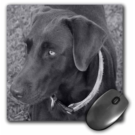 Resting Lab (3dRose Chocolate Lab Black And White, Mouse Pad, 8 by 8 inches )