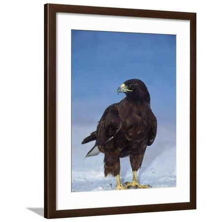 Galapagos Hawk (Galapagos Hawk, Espanola/Hood Is, Galapagos Islands, Ecuador Framed Print Wall Art By Pete Oxford )