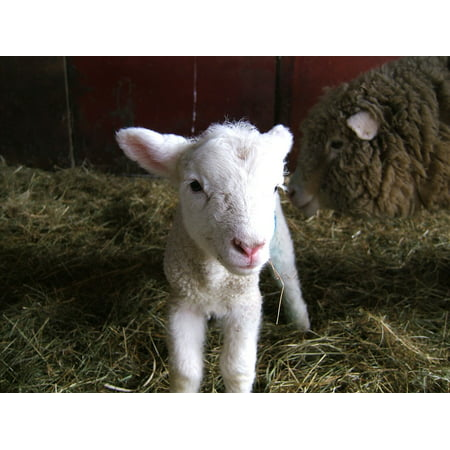 LAMINATED POSTER Livestock Woolly Lamb Sheep Spring Farm Poster Print 24 x