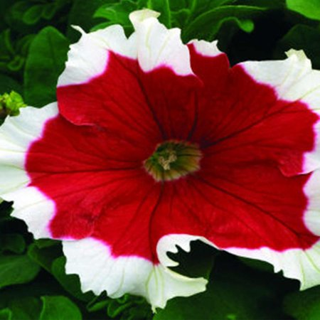 Petunia - Frost Series Flower Garden Seed - 1000 Pelleted Seeds - Fire Colored Blooms - Annual Flowers - Single Grandiflora Petunias