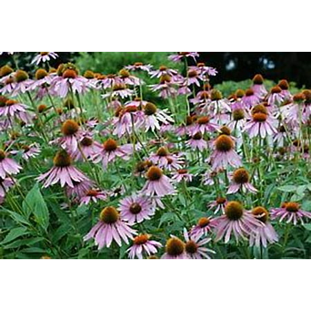 Purple Coneflower Echinacea Nice Garden Flower Herb by Seed Kingdom 200 Seeds