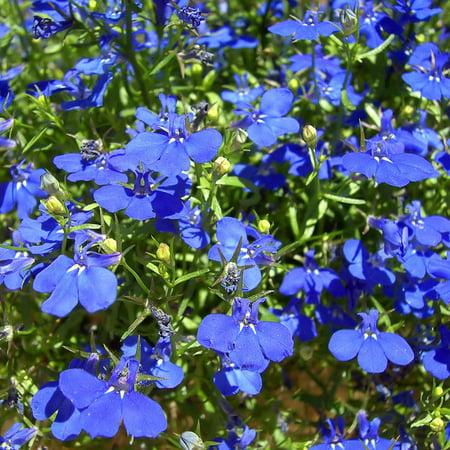 Lobelia Flower Garden Seeds Regatta Series Sapphire 1000 Seeds