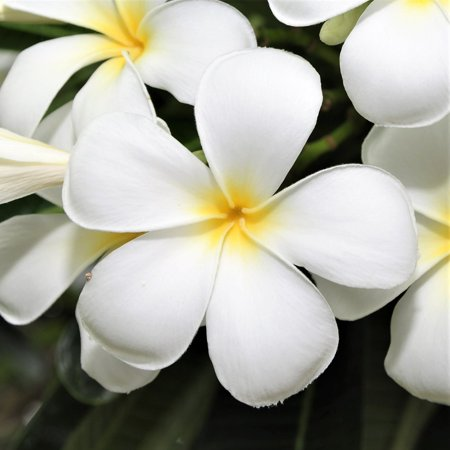 White Hawaiian Plumeria Cutting -Apx. 9 - 12 inches long #C1 (Best Grass Seed For Long Island Ny)