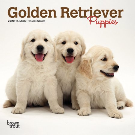 Golden Retriever Puppies 2020 Mini 7x7 (Other) (Golden Retriever Cross Old English Sheepdog Puppies)