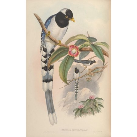 Birds of Asia 1850 White-capped Blue Pie Canvas Art - John Gould (18 x 24)