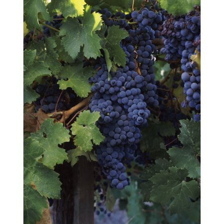 - Cabernet sauvignon grapes in vineyard Wine Country California USA Poster Print