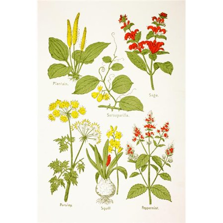 Medicinal Herbs & Plants. Clockwise From Top Left - Plantain, Sarsaparilla, Sage, Peppermint, Squill, Parsley From Virtues Household Physician Published London 1924 Poster Print ()