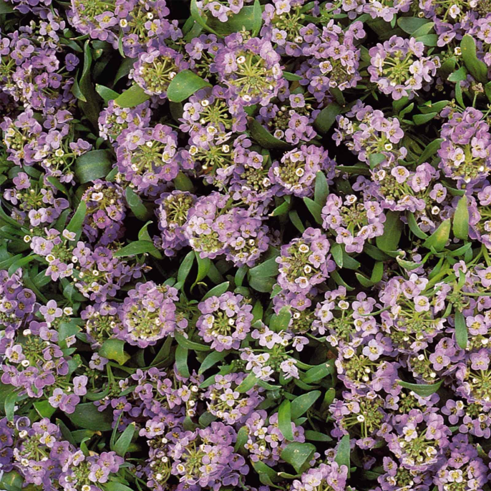 Alyssum Easter Bonnet Seeds - Color: Lavender - Approx 5000 Annual Flower Garden Seeds - Lobularia maritima