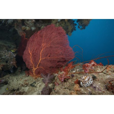 A large red gorgonian sea fan and tiger cowrie in waters off Fiji Canvas Art - Terry MooreStocktrek Images (35 x 23)