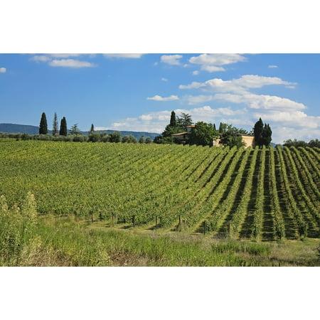 Italy Tuscany Toscano Italian - canvas print vine italy field grape toscana tuscany italian stretched canvas 10 x 14