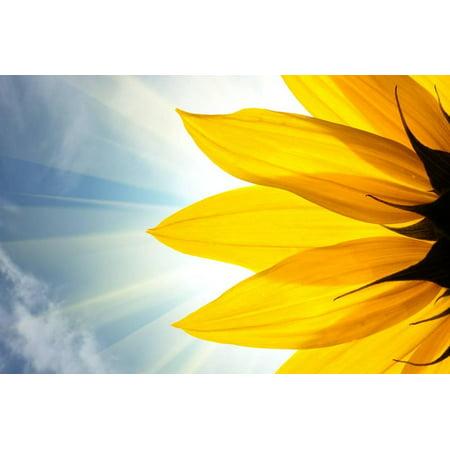 Sunflower Yellow Flower Closeup Photo Print Wall Art By logoboom