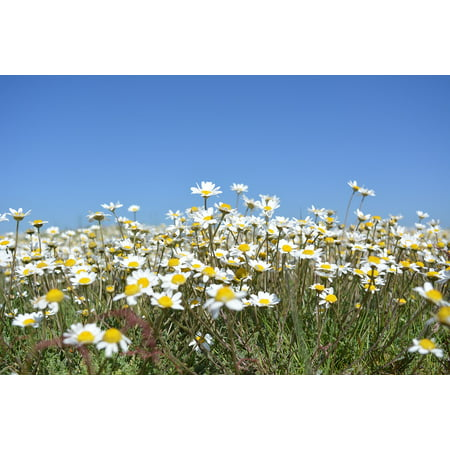 Laminated Poster Margaret Nature Flowers Daisies Spring Wildflowers Poster Print 24 x 36