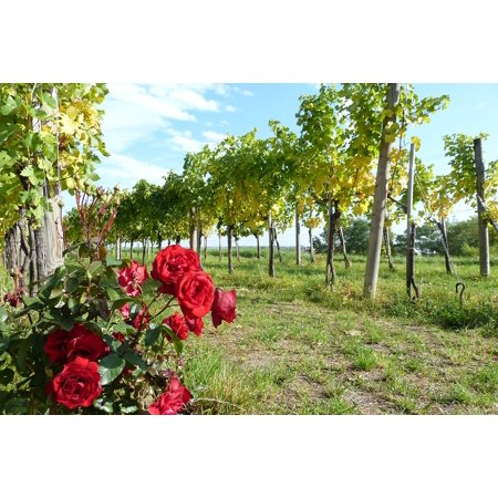 Canvas Print Rebstock Wachau Autumn Vine Rose Vineyard Wine Stretched Canvas 10 x (Vineyard Vines Canvas)