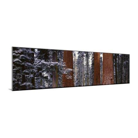 Sequoia National Park, California, USA Wood Mounted Print Wall