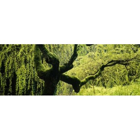 Moss growing on the trunk of a Weeping Willow tree Japanese Garden Washington Park Portland Oregon USA Canvas Art - Panoramic Images (18 x (Japan Blue Willow)