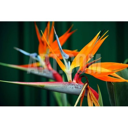 Strelitzia, the Bird of Paradise Flower, is A Genus of Five Species of Perennial Plants, Native to Print Wall Art By Milleflore Images
