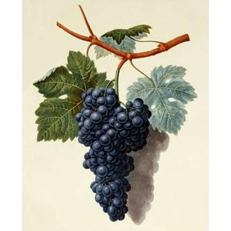 Black Muscadine Grapes Poster Print by  George Brookshaw