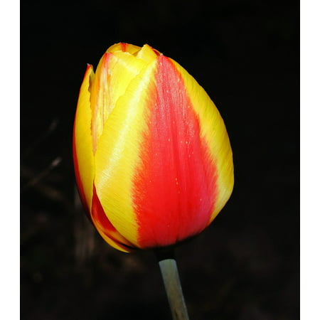 LAMINATED POSTER Red Blossom Flower Plant Tulip Bloom Spring Poster Print 24 x 36