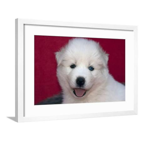 Siberian Husky puppy Framed Print Wall Art By Zandria Muench