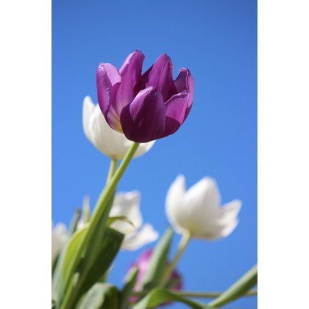 LAMINATED POSTER Spring Purple Holland Flower Tulips Perennial Poster Print 24 x 36 ()