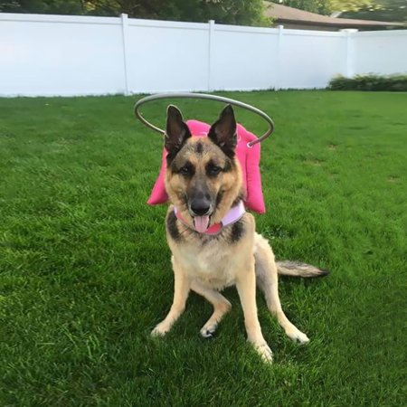 Muffin's Halo Guide for Blind Dogs - Pink Angel Wings](Angel Halos For Sale)