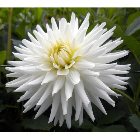My Love Cactus Dahlia Tuber - White Star Flower - #1 Size Root Clump