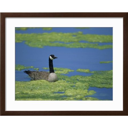Best Canada Goose in a Eutrophic Pond, Branta Canadensis, North America Framed Print Wall Art By John & Barbara Gerlach deal