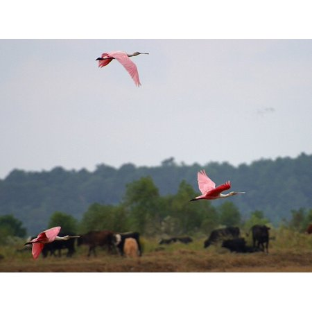 Canvas Print Fly Bird Animal Nature Flamingos Wing Flight Stretched Canvas 10 x 14
