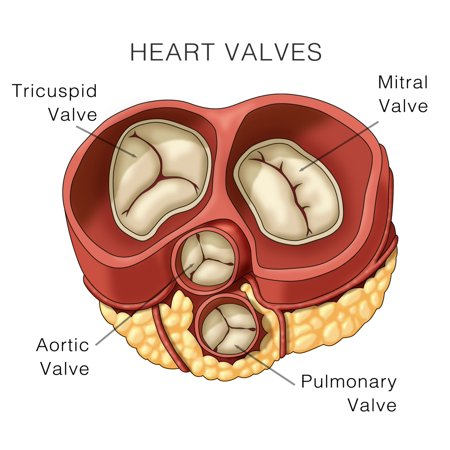 Heart Valves Illustration Poster Print By Monica Schroederscience Source