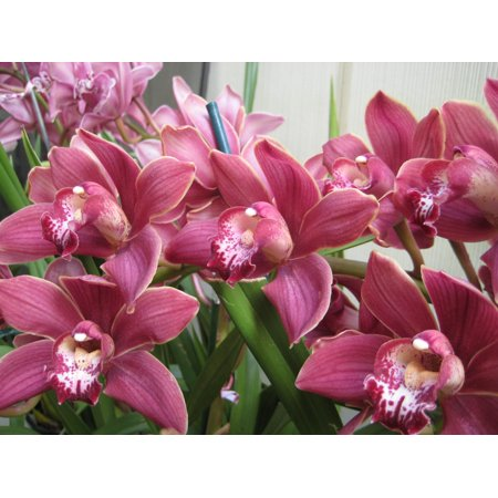 Image of Hawaii Live Plants Blooming Orchid Plants